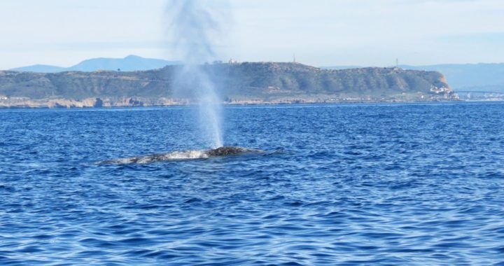 Gray Whale Spout off Point Loma San Diego